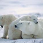 ice-king-polar-bear (16)
