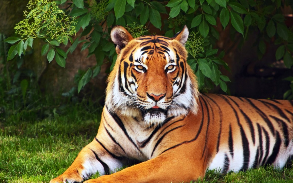 8k Animal Wallpaper Download: Awesome Royal Filled HD Tiger Wallpapers [Hand Picked