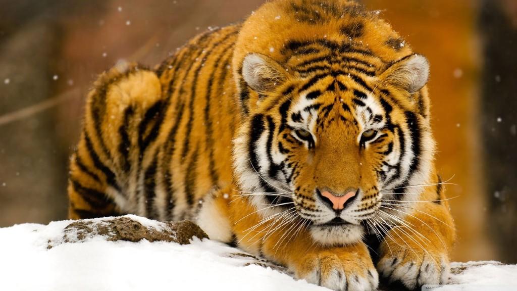 tiger-wallpapers-stugon.com (15)
