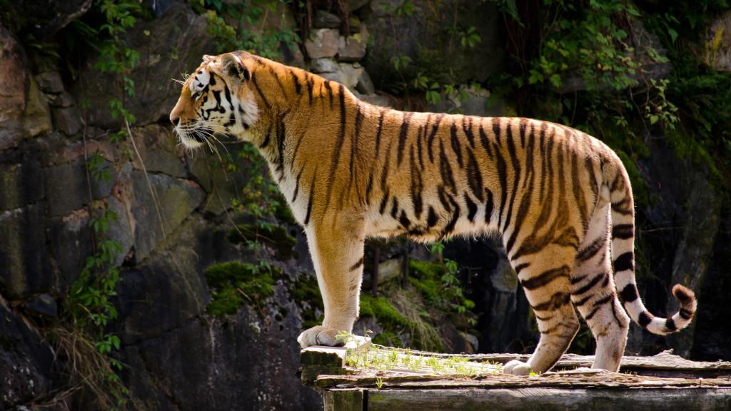 tiger-wallpapers-stugon.com (18)