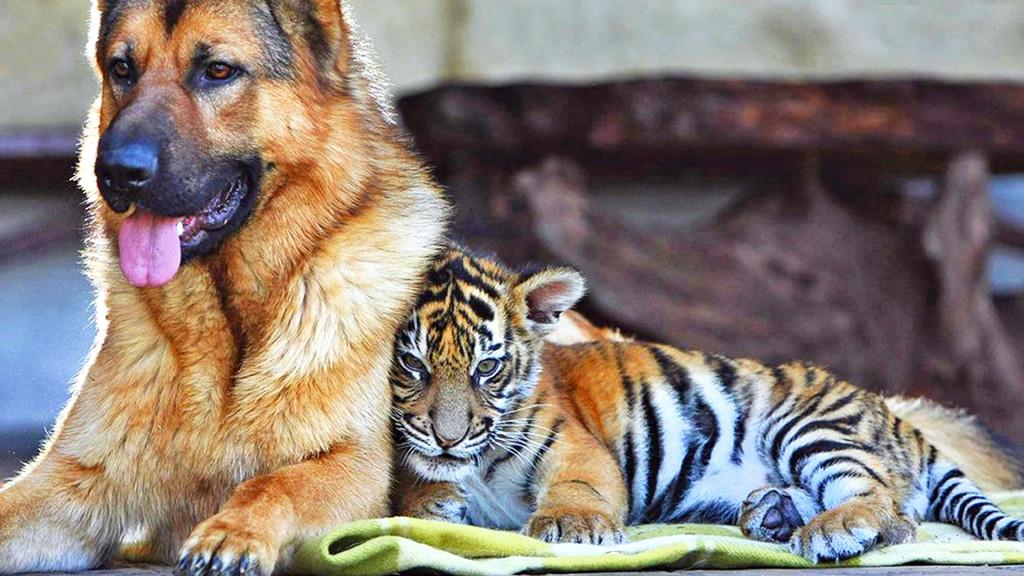 tiger-wallpapers-stugon.com (2)