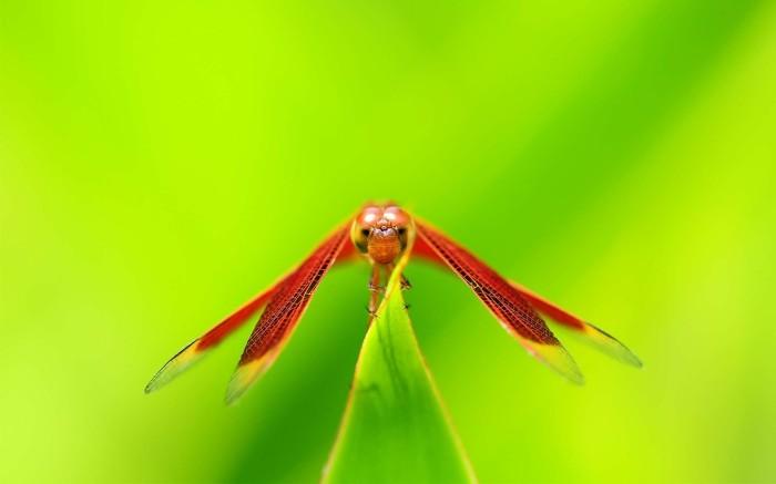 dragonflies-wallpapers-stugon (12)