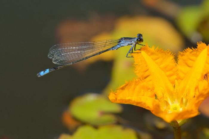 dragonflies-wallpapers-stugon (13)