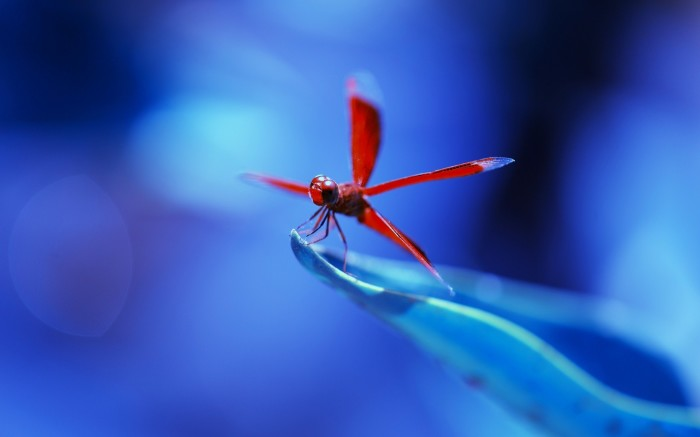 dragonflies-wallpapers-stugon (6)