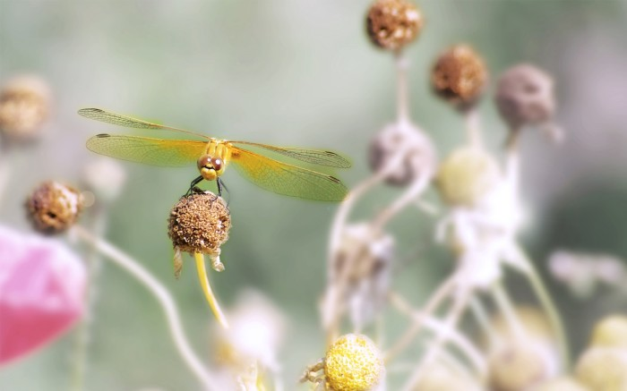 dragonflies-wallpapers-stugon (9)